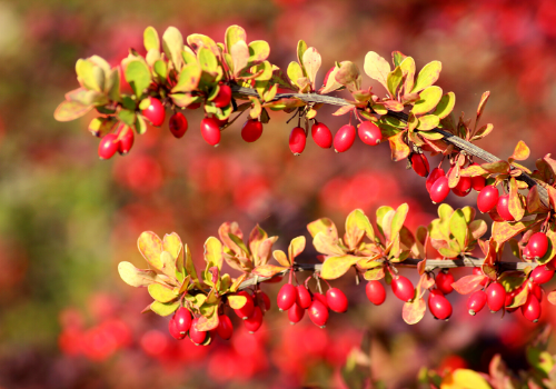 Nature's Antibiotic - Berberine For Infectious Diseases